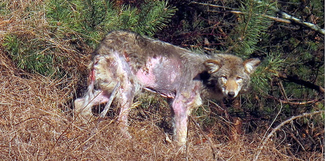 Coyote with Stage 4 Mange