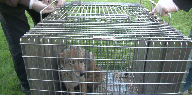 Trouble Coyote in Cage